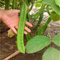 Canavalia Gladiata Seeds Red Sword Beans Chinese Knife Bean Seeds Organic Ornamental Vegetable Seeds Outdoor Plants