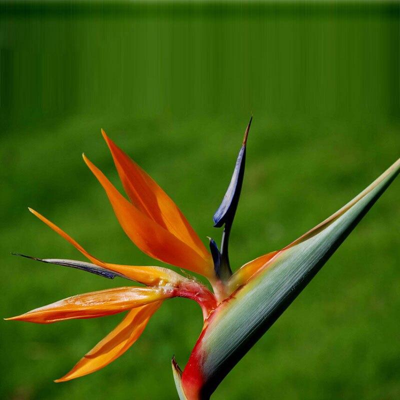 Oiseau de paradis fleur promotion achetez des oiseau de paradis fleur promotionnels sur - Plante oiseau de paradis ...
