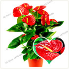 100pcs/bag anthurium seed bonsai flower seeds anthurium plant balcony pot multiple colors to choose for home garden