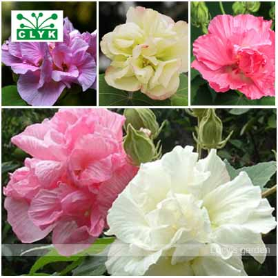 50 Hibiscus Flower Seeds, DIY Home Garden potted or yard flower plant easy-growing