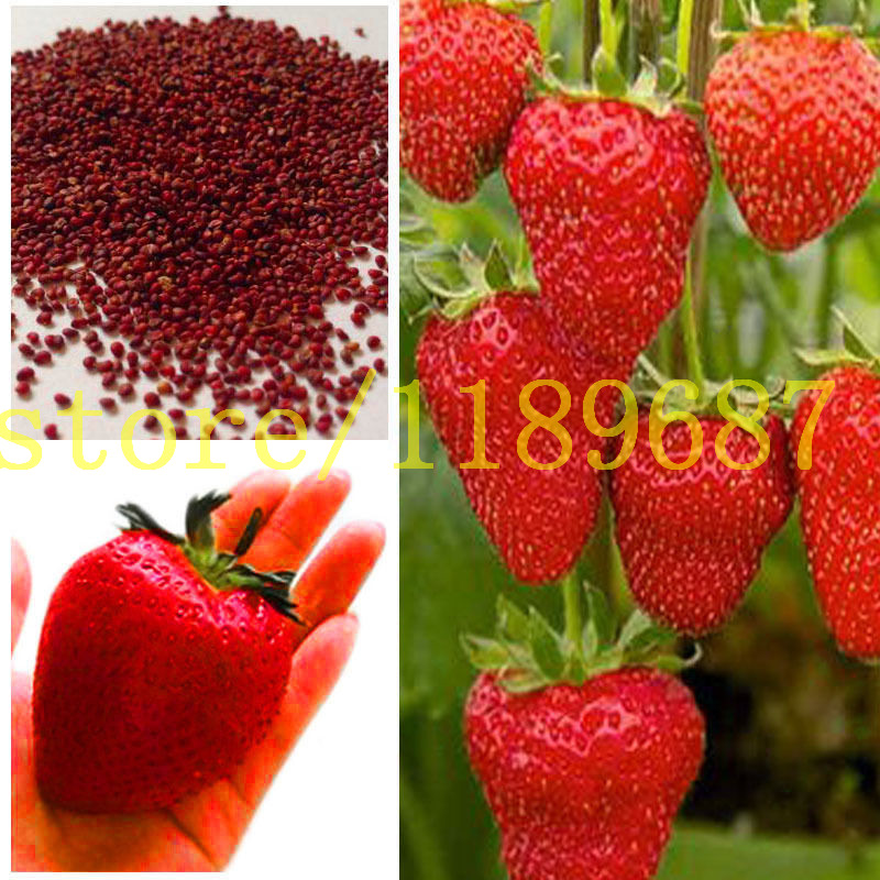 strawberry seeds 500 big strawberry seeds giant and deliciouns NO-GMO rare bonsai fruit seeds for home garden planting