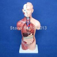 HOT 42CM Sexless Torso With Internal Organs 18 Parts Human Sexless Torso Model