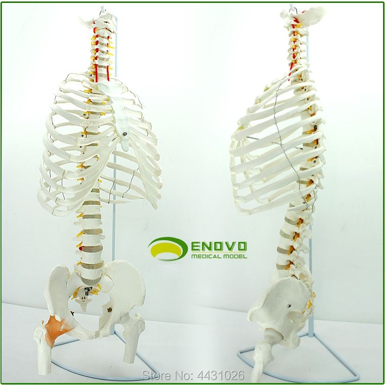 ENOVO A model of the rib cage of the thoracic spine of the lumbar spine of the medical human body