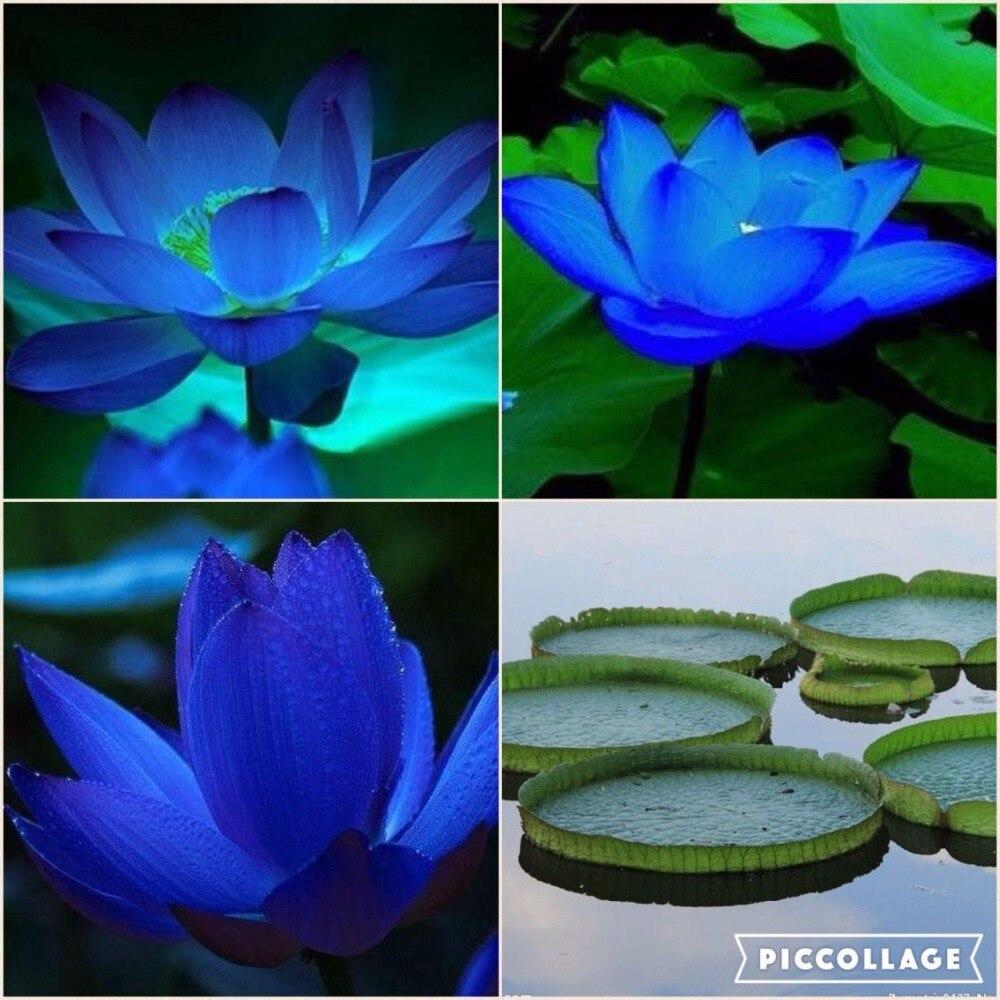 Bonsai Blue Lotus Seeds Nymphaea Caerulea Asian Water Lily Pad