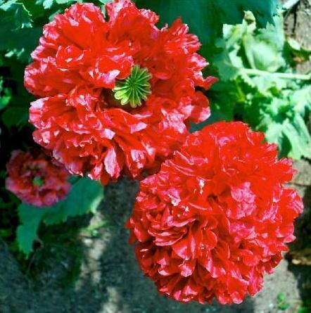 20 PC vin rouge pivoine graines. le plus beau jardin et fleurs ...