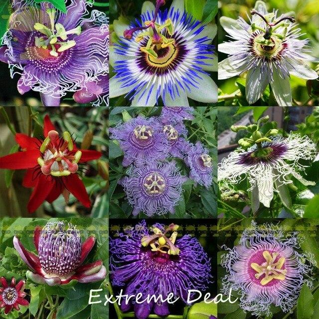 https://ae01.alicdn.com/kf/HTB1mRiIRFXXXXXwXXXXq6xXFXXXM/14-Types-Passion-Flower-Mixed-Seeds-20-SEEDS-PACK-Colorful-Passiflora-Coerulea-Bonsai-Climbing-Plants-DIY.jpg_640x640.jpg