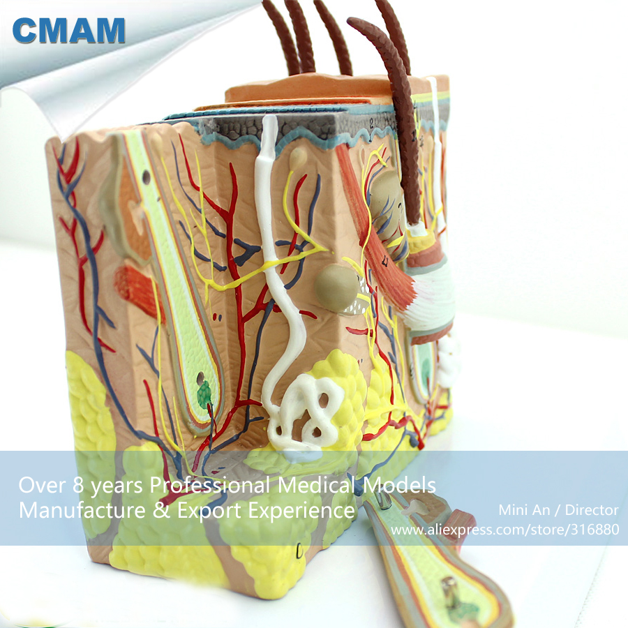 CMAM-SKIN02 Anatomical Human Skin Cross Section Block Model 35x,  Medical Science Educational Teaching Anatomical Models human anatomical body integral organ distribution skin medical teach model school hospital hi q