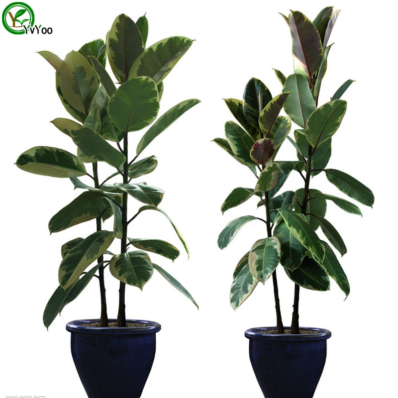 Mini Rubber Plant : Indoor bonsai tree seeds pots tuscan olive