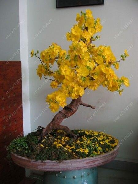 10 pcs/bag yellow Jasmine seeds rare bonsai flower seeds Beautiful intellectual indoor potted jasmine plant for home garden