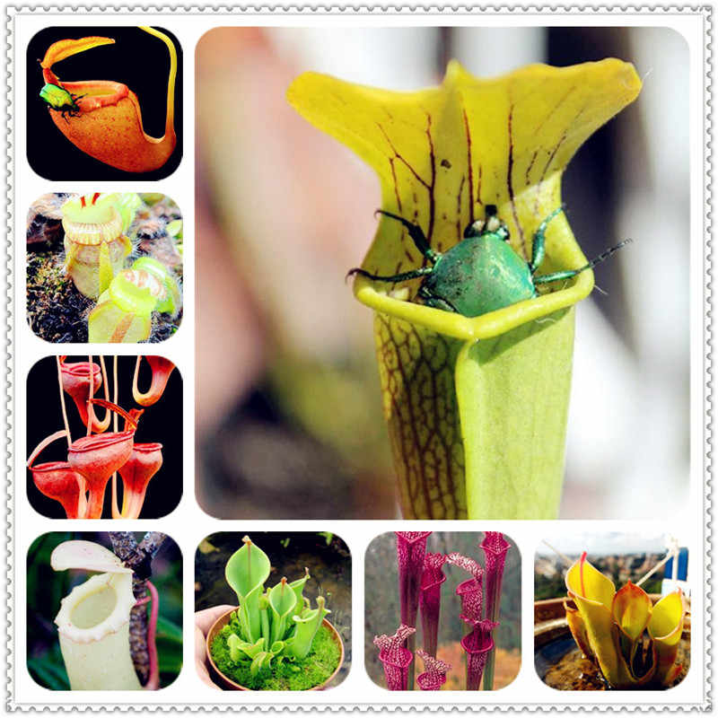200 ชิ้น Dionaea Muscipula Giant คลิป Venus Flytrap bonsai Potted Insectivorous Plant bonsai Flycatcher Bonsai บอนไซสำหรับ Garden