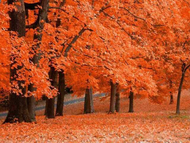 28 Giapponese Semi Di Albero Di Acero Rosso Leaf New Diretta Semi Freschi  Giardino Domestico Di