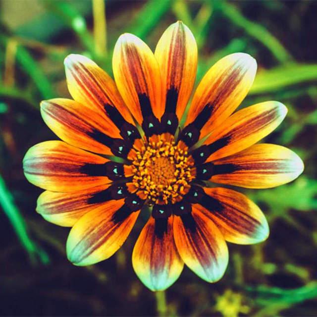Ground-cover Chrysanthemum Seeds, Chrysanthemum Flower Seeds, 100pcs/pack