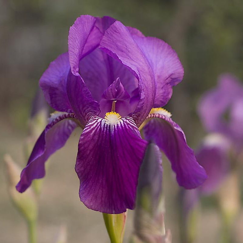 a package 50 pieces seeds pretty deep purple iris orchid seeds flower seeds perennial potted plants - Pretty Plants