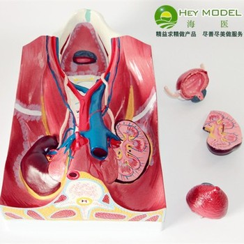 Urinary System Abdominal back wall model bladder Urine formation Show free shipping