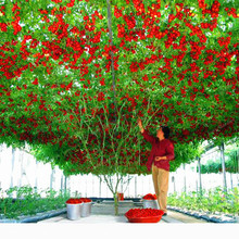 100 Pcs Climbing Tomatoes Seeds Delicious Nutritious Organic Fruits And Vegetables Seeds For Home Garden Potted Plants