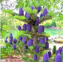 Korean Tree Abies Fir Seeds 50pcs