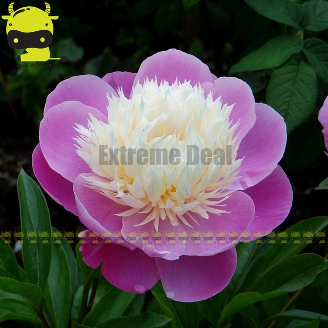 Pink and white big flowers peony seeds 5 seedspack beautiful bush pink and white big flowers peony seeds 5 seedspack beautiful bush tree mightylinksfo Image collections