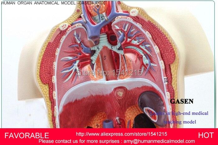 Anatomyanatomy Modelhuman Anatomy Modelmuscle Medicalhuman