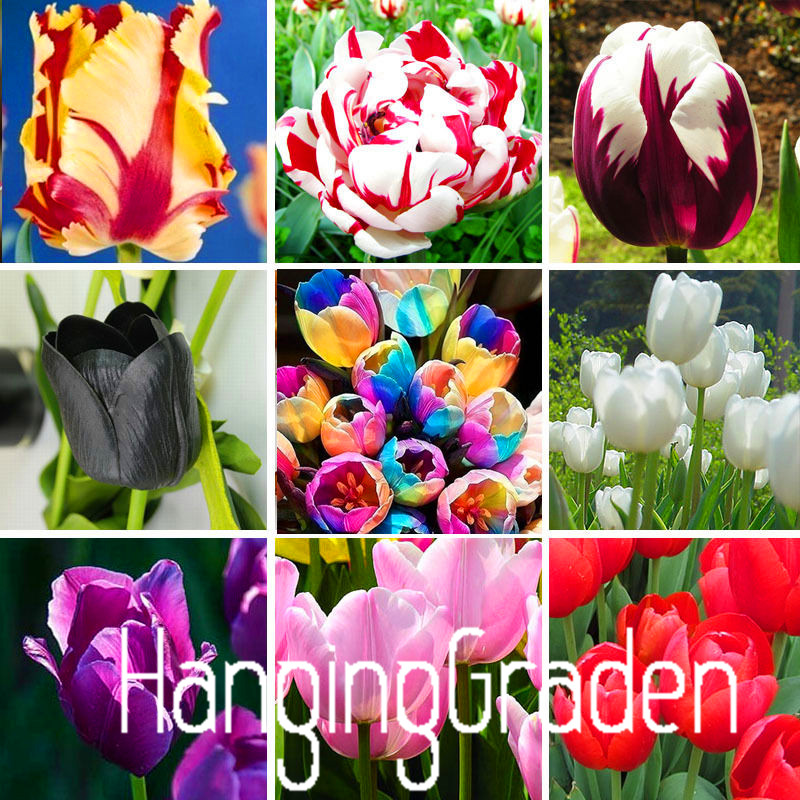 Big Sale Tulip seeds tulip flowers beautiful tulip 19 varieties can pick 10 seeds I74RL9