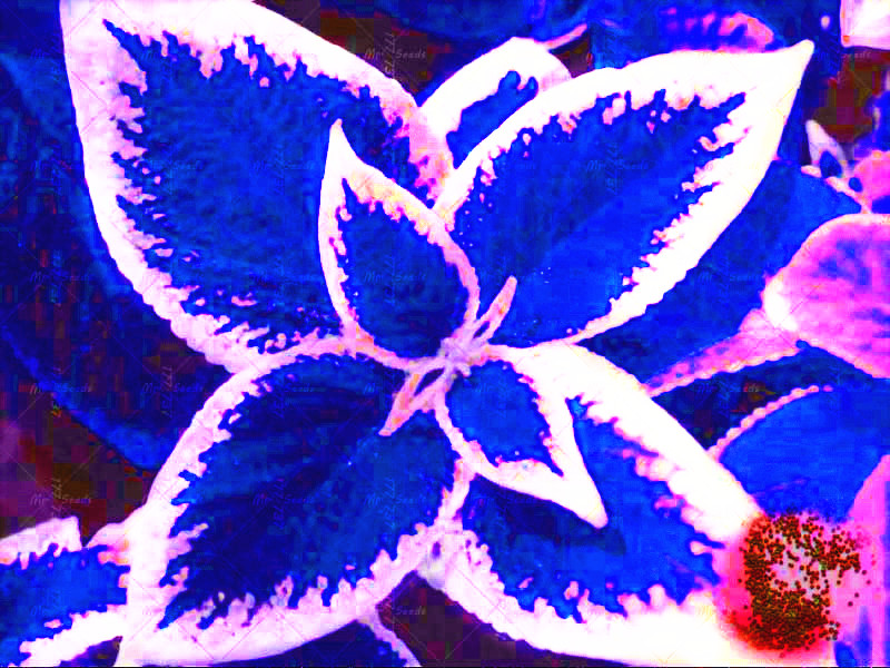 100 / bag blue Coleus seeds, beautiful flowering plants, potted bonsai balcony spell color