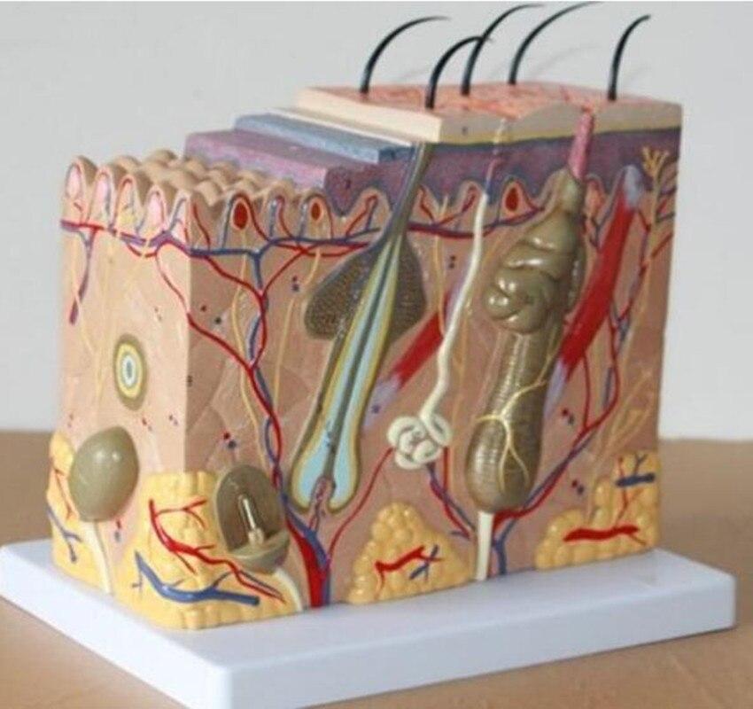 50: 1 modèle de Dissection des tissus sous-cutanés de la peau anatomique humaine modèle d'école médicale nouveau