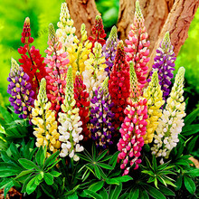 100pcs/bag,Lupine seeds,Colorful Rainbow Ornamental home and Garden Perennial Flower Hardy Bonsai plant
