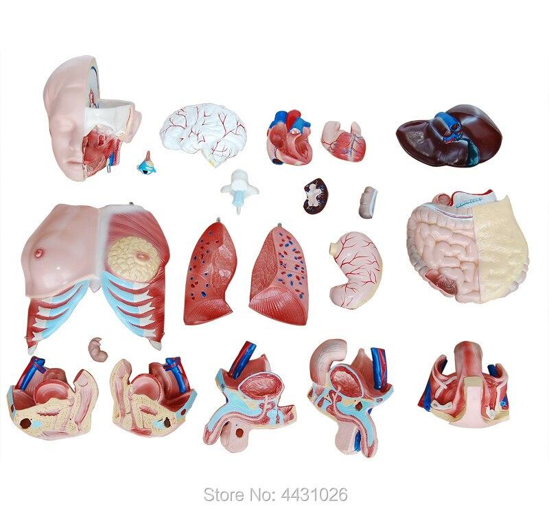 где купить ENOVO Anatomy of trunk viscera (three types) of human organ structure model по лучшей цене