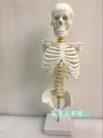 The 45cm spine model includes the pelvis and sternum skeleton model hanging spine free shopping