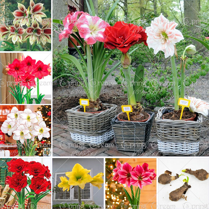 Real amaryllis bulbs, hippeastrum bulbs, good quality bonsai flower bulbs, perennial Barbados Lily Bulbous Root plant pot 2 pcs