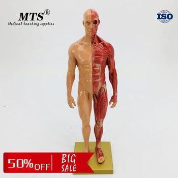 30cm male human muscle anatomical model Flesh bone anatomy CG anatomical skeleton model iso foot anatomy model anatomical foot model