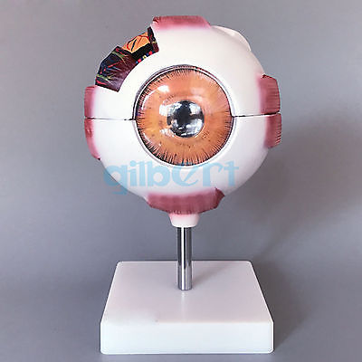 White Human Eye Ball Anatomical Model Training 6X Life Size Medical Kit plastic standing human skeleton life size for horror hunted house halloween decoration