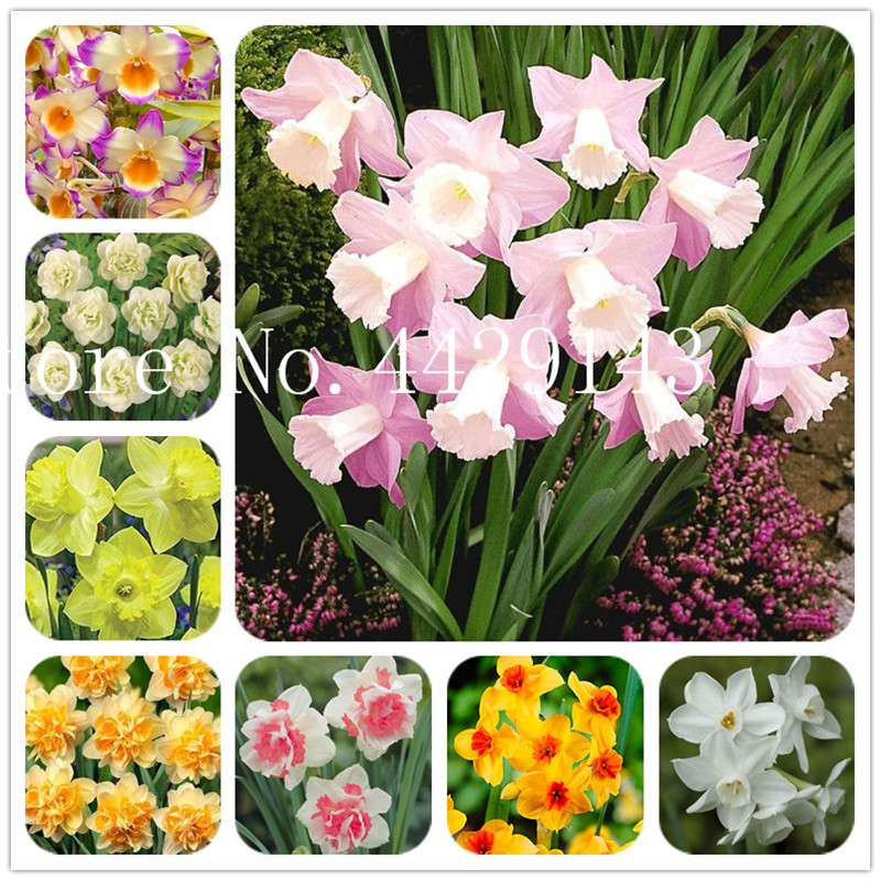 Pink Daffodil Bulbs Hydroponic Flower Purification Air Double Narcissus Plant