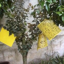 20 sztuk! Zwalczanie szkodników silne muchy pułapki pluskwy lepkie deski łapanie mszyce owady zabójca Gnat Fruitfly Leafminer