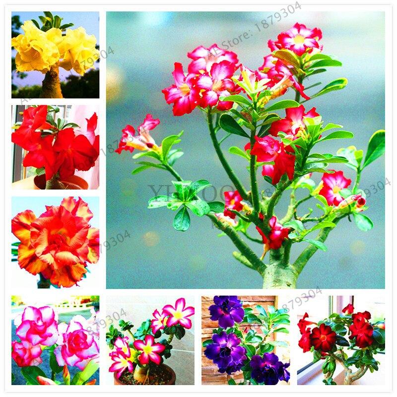 5 pcs High quatily Desert Rose flores Adenium Obesum plantas