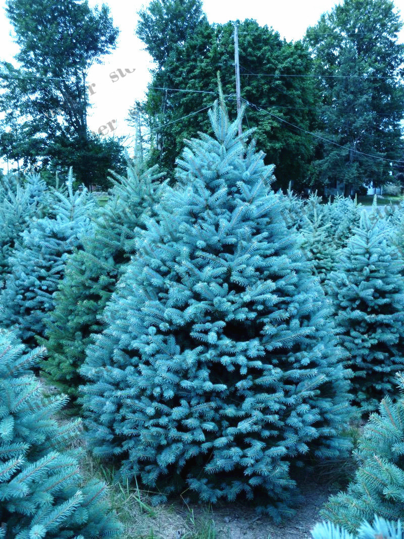 20pcsblue Spruce Bonsais Picea Tree Potted Bonsai Courtyard Garden Plant Pine Tree Bonsais