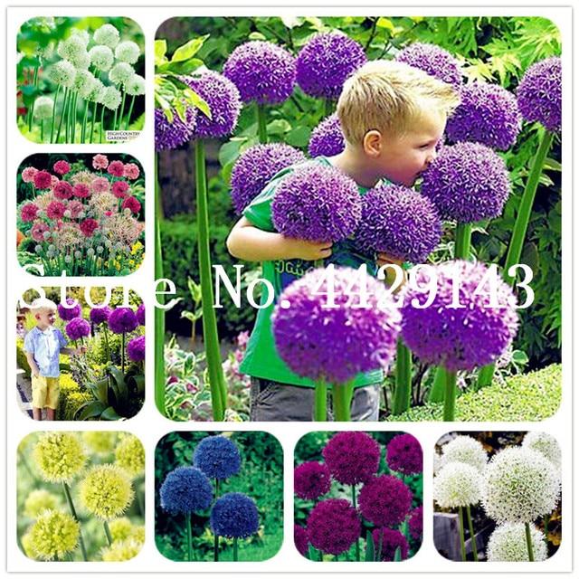 Sale 100 pcs Semillas De Flores Exotic Giant Allium Plant Perennial Ornamental Flower Bonsai for garden decoration gift for kid