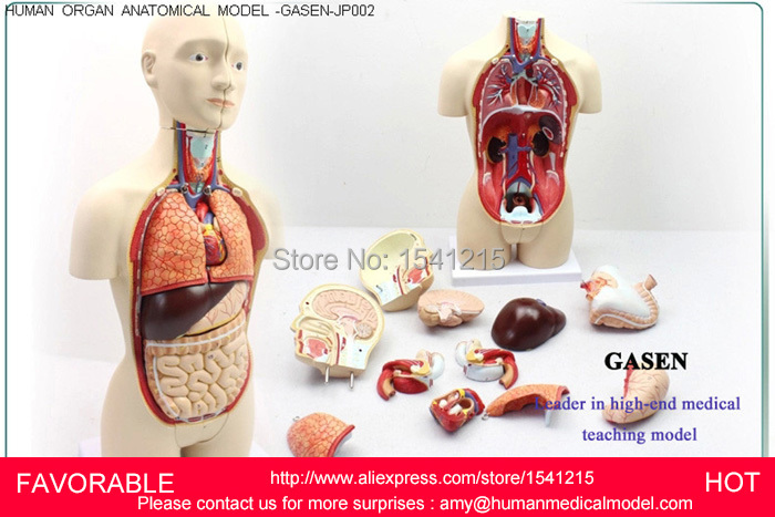 ANATOMY,ANATOMY MODEL,HUMAN ANATOMY MODEL,MUSCLE MEDICAL,HUMAN MEDICAL MUSCLE ORGANS ANATOMICAL,TORSO ANATOMICAL GASEN-JP002 42cm male 13 torso model torso anatomical model of medical biological teaching aids equipment