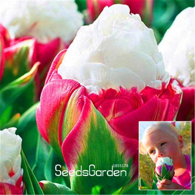 New Arrival!10 PCS/Lot Cabbage Rare tulip seeds. Very rare flower seeds garden bonsai potted plants,sementes de flores ,#W6KNW9