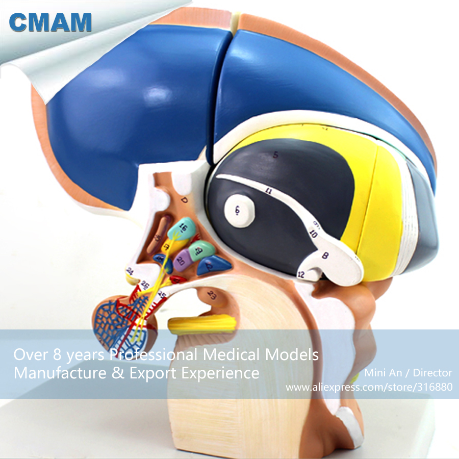 12411 CMAM-BRAIN13 Plastic Human Anatomy Brain Diencephalon Model, Medical Science Educational Teaching Anatomical Models cmam viscera01 human anatomy stomach associated of the upper abdomen model in 6 parts