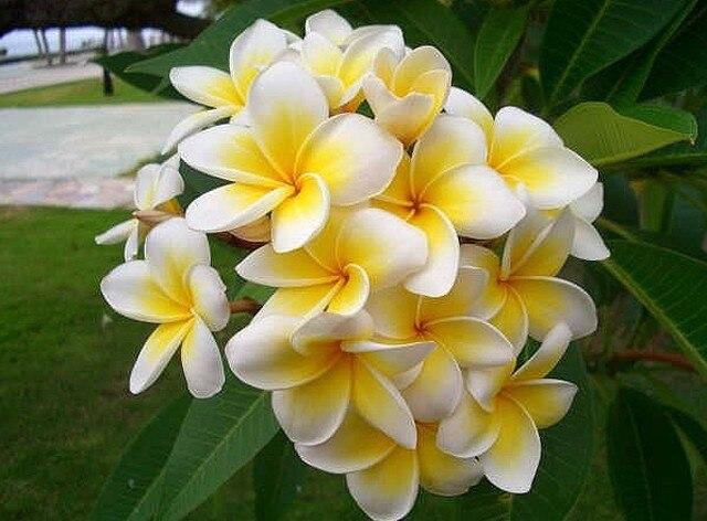 100 sementes Início Jardim Frangipani PLUMERIA Rubra Lei Ovo Sementes de Flores semillas de flores