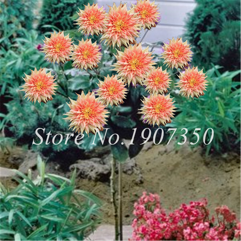 50 Pcs Bonsai Colorful Dahlia Flower Dahlia Bonsai Outdoor Tree Charming Bonsai Flower Not Dahlia Bulbs Home Garden Potted Plant in Bonsai from Home Garden