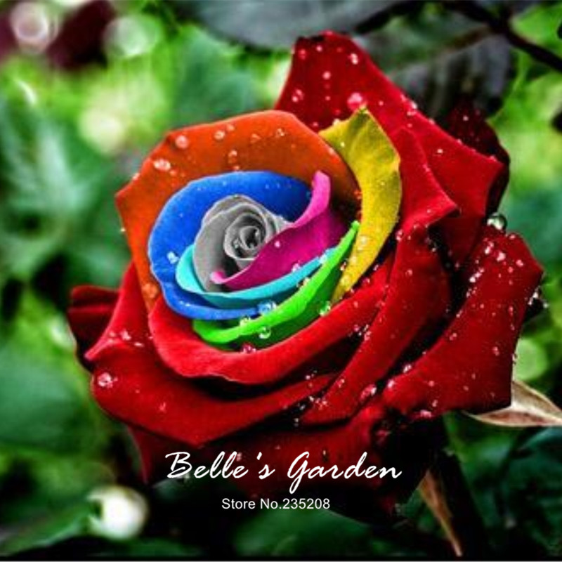 500pcs Mystic Rainbow Rose Seeds Bush Flower Seeds Perennial Shrub Home Garden Bonsai Flower Balcony Plant DIY