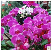 mixed color 20seeds/bag Butterfly orchid seeds balcony gardening 24 kinds of butterflies when flowering potted orchids Seed