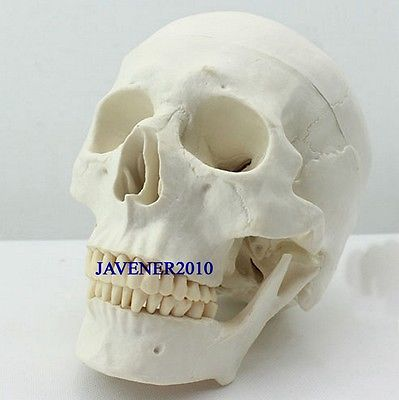Human Anatomical Anatomy Asian Youth Head Skeleton Skull Medical Model