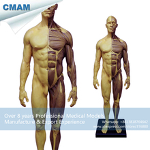 CMAM-PRC45 Old Color Resin Material 1:6 Male Anatomy Medical Artist Model 30cm