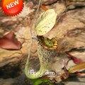 Горячая Продажа! 50 Семена/Пакет Полосатый Сторона Nepenthes Семена Балкон Горшечные Растения Бонсай Семена Семена Бонсай Хищные Растения, # YSWSAG