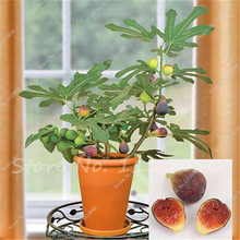 Fig Seeds - Fragrant - King Figs Tree Seed Bonsai Balcony Fruit for Home Planting Germination Rate of 95% 50 Pcs Free Shipping(China)