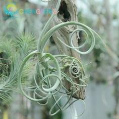 Hot Sale 100pcs Tillandsia plants Succulent Pineapple Mini Air Purifier Rare Bonsai Decoration For Home Garden Free Shipping