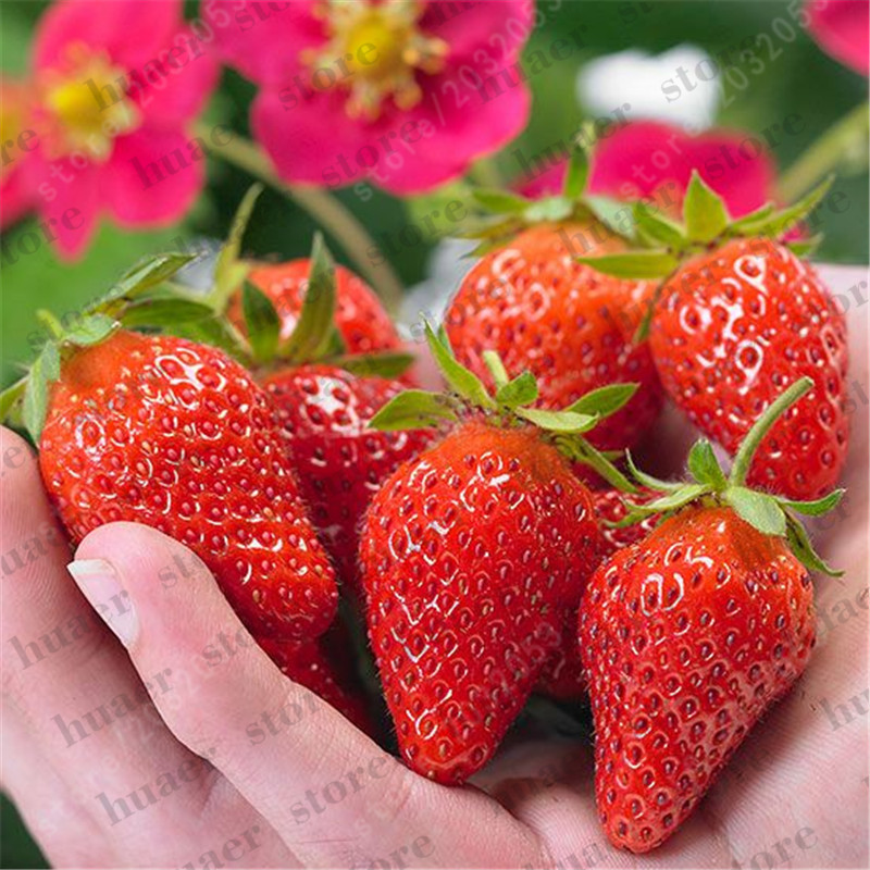 Image 5 - 300pcs mountaineering strawberry bonsai plants home garden with strawberry NON GMO strawberry tree big delicious fruit-in Bonsai from Home & Garden