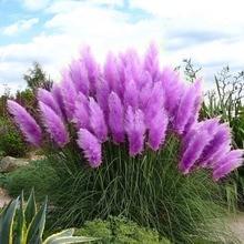 Новые редкие впечатляющие фиолетовые пампасы травы Семена декоративных растений Цветы Cortaderia Selloana Grass Seeds 600PCS Бесплатная доставка